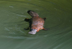 Elusive Australian Duck Billed Platypus,queensland Royalty Free Stock Photos