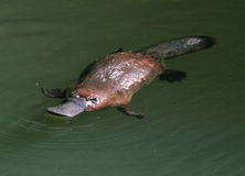 Elusive australian duck billed platypus,queensland Stock Photos