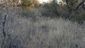 Typical sighting of an elusive and camouflaged African leopard vanishing into grass at Okonjima Nature Reserve, Namibia stock photos
