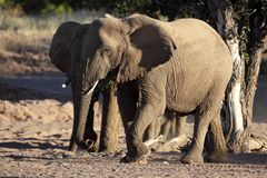 Elusive desert elephant of Namibian Royalty Free Stock Photos