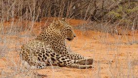 Elusive leopard rests and wakes up in red kalahari sand and looks into camera