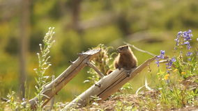 An Elusive Marmot Sitting on Log Windy Day Near Den stock video footage
