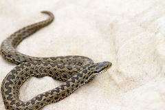 Elusive meadow adder on burlap Royalty Free Stock Photography