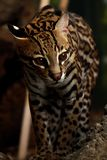 Elusive Ocelot. A close-up of an adult male Ocelot (Leopardus pardalis Stock Photography