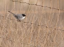 The elusive Sardinian Warbler Stock Photos