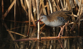 An elusive Water Rail Rallus aquaticus walking on the frozen river hunting for food.. Stock Photo