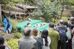 Elva behandla som ett barn första offentliga skärm för pandor på den Chengdu forskninggrunden av jätten Panda Breeding Royaltyfria Foton