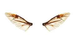 Elves wings. Wings of a bug isolated on a white background Royalty Free Stock Images