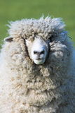 Elvis. Sheep face Stock Photo