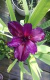 Elvis Presley Iris Immagine Stock