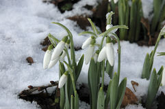 Elwesii de Galanthus photos stock
