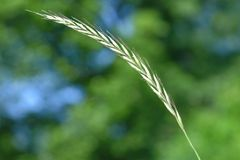 Elymus hispidus. Is a couch-grass Royalty Free Stock Photography