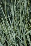 Elymus hispidus - Elymus Glauca -  Ornamental Blue Grass. Wild Rye Grass. Blue spiky grass Elymus hispidus Royalty Free Stock Image