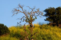 Elysian Park right before sunset. This tree caught my eye as i awaited the sunset and had all the wildflowers growing around it royalty free stock photos