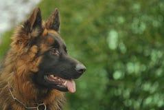 Elzassische hond Royalty-vrije Stock Afbeeldingen