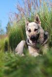 Elzassische hond Royalty-vrije Stock Foto