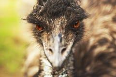 Emù arrabbiato Fotografia Stock