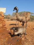 Emù, Australia fotografia stock libera da diritti