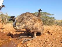 Emù, Australia Immagini Stock Libere da Diritti
