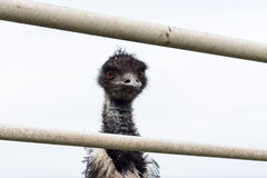 Emù che guarda tramite il recinto Fotografia Stock