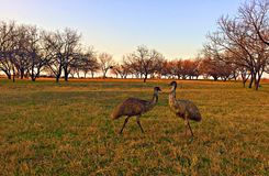 Emù che stanno insieme nel campo Fotografia Stock