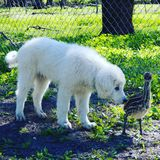 emù del cane Fotografia Stock Libera da Diritti
