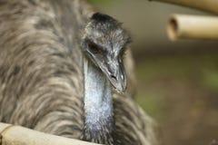 Emú Foto de archivo libre de regalías