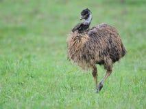 Emú Foto de archivo