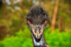 Emú Imagen de archivo libre de regalías
