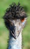Emú Imagen de archivo