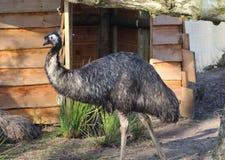 Emú Fotografía de archivo