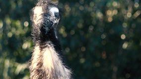 Emú australiano hacia fuera en naturaleza metrajes