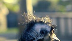 Emú australiano hacia fuera en naturaleza almacen de video