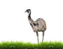 Emú con la hierba verde aislada imagen de archivo