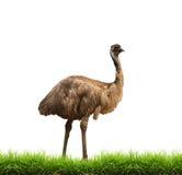 Emú con la hierba verde aislada Imagen de archivo libre de regalías