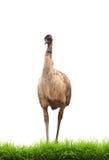 Emú con la hierba verde aislada Fotos de archivo libres de regalías