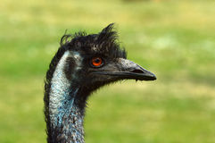 Emú de la avestruz Fotos de archivo libres de regalías
