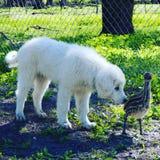 emú del perro foto de archivo libre de regalías