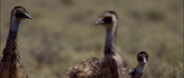 Emú en australiano interior almacen de metraje de vídeo