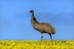 Emú en un campo del canola Fotos de archivo libres de regalías