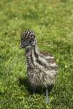 Emú joven Chick Looking Cute en hierba Fotografía de archivo