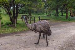 Emú mojado salvaje Imagen de archivo