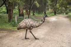 Emú mojado salvaje Imagen de archivo libre de regalías