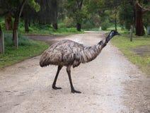Emú mojado salvaje Imagenes de archivo
