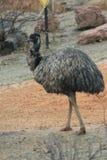 Emú - novaehollandiae del Dromaius Fotos de archivo libres de regalías