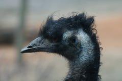 Emú - novaehollandiae del Dromaius Imagen de archivo libre de regalías
