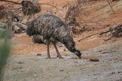 Emú - novaehollandiae del Dromaius Foto de archivo