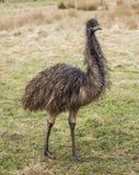 Emú que se coloca en campo imagen de archivo