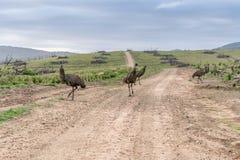 Emúes salvajes en el camino Fotos de archivo