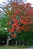 Em árvores grandes vermelhas e verdes em Canadá foto de stock royalty free